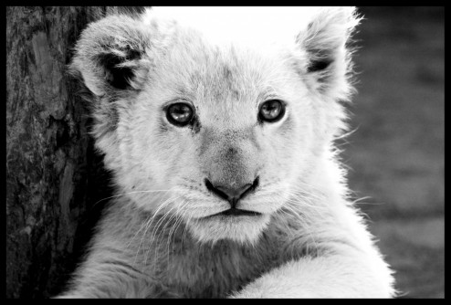 White Lion Cub By Tonallytormented Tormented